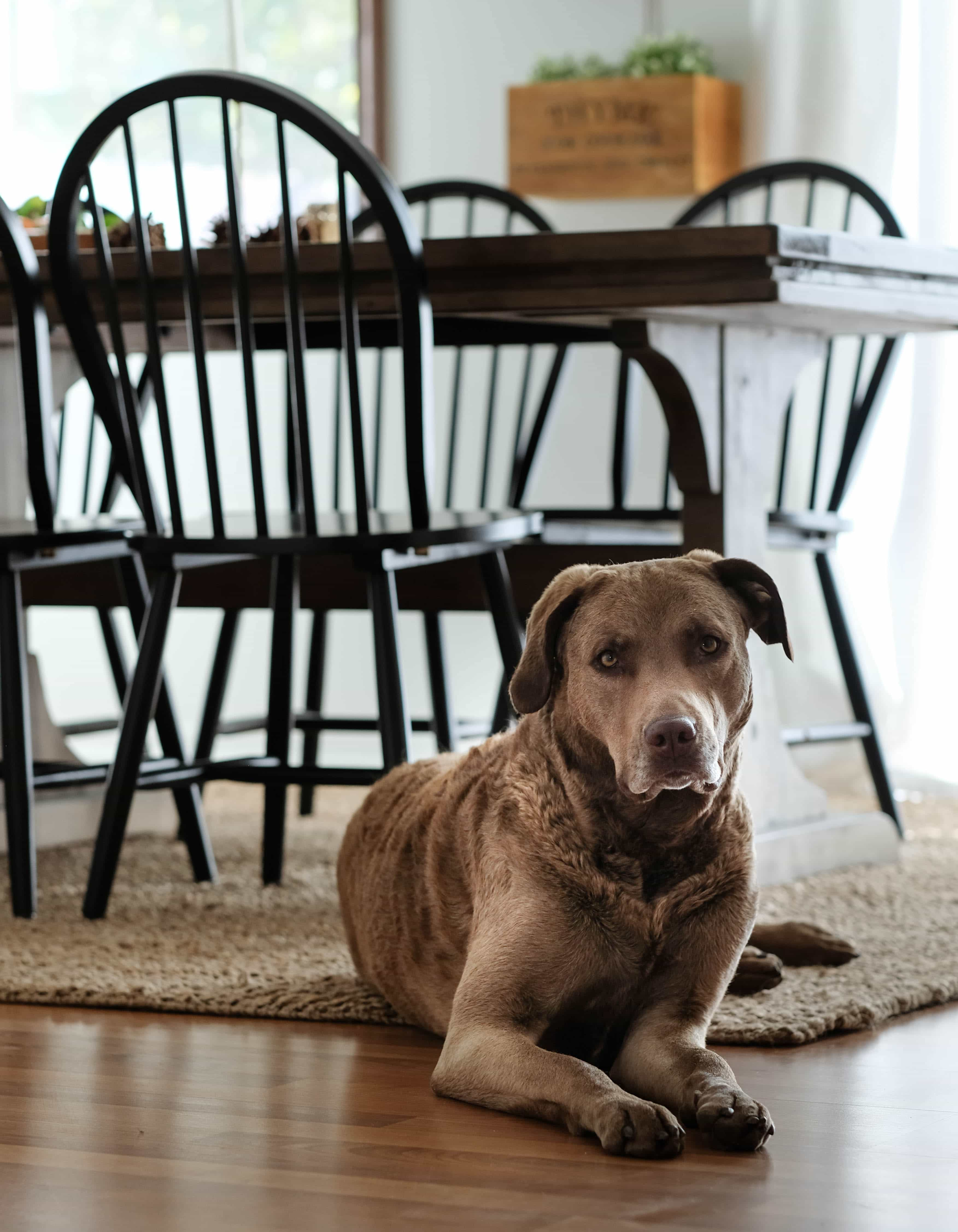 chesapeake bay retriever dog laying on jute rug
