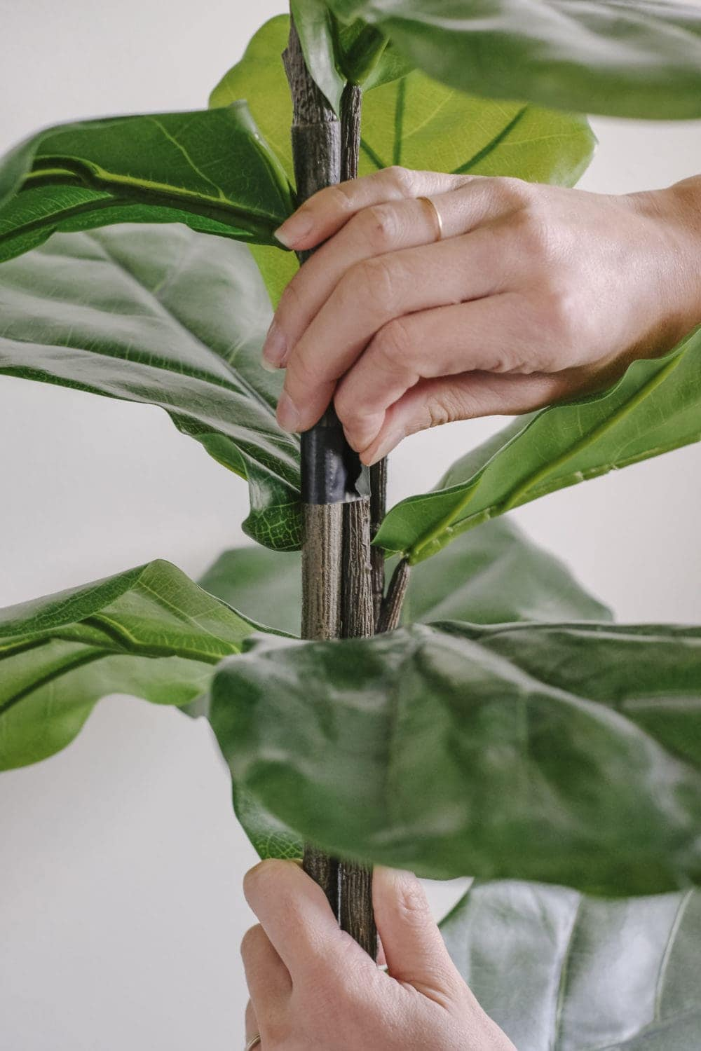 a hand taping three fiddle leaf fig branches together