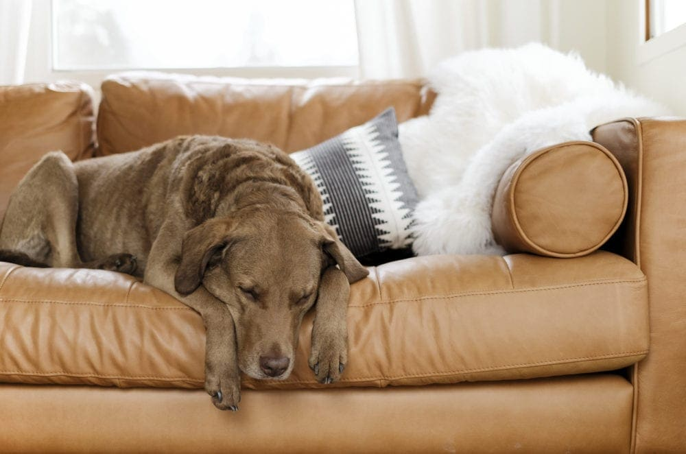 Chesapeake bay retriever sleeping on a brown leather couch